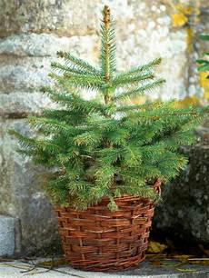Weihnachtsbaum Im Topf Festliche Deko Sch 246 Ner Zusatz