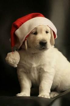 christmas labrador labradors christmas puppy puppy images christmas animals