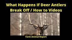 what happens if deer antlers break off how to videos