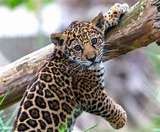 jaguar san diego zoo kids