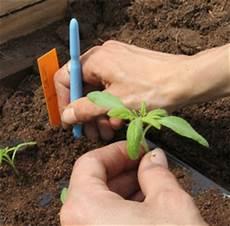tomaten pikieren leicht gemacht unsere anleitung