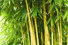 Bambus Braune Blätter - bambus hat gelbe bl 228 tter 187 ursachen behandlung