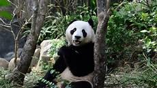 Gambar Panda Lucu Banget Gambar Meme