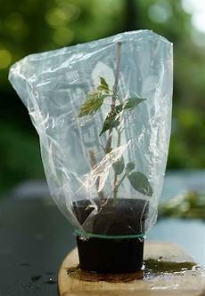 holunder vermehren holunder vermehren holunder und pflanzen
