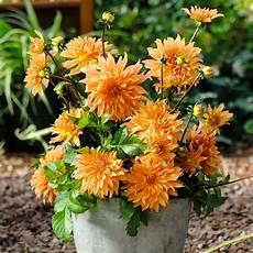 orange dahlie im ca 19 cm topf kaufen bei g 228 rtner