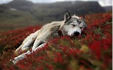 Wallpaper Pictures Of Wolf