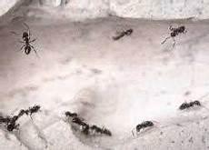 ameisenbekämpfung im haus ameisen im haus infos zur effektiven ameisenbek 228 mpfung hier