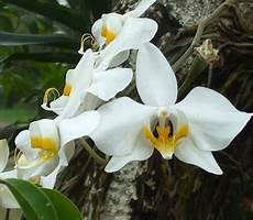 bunga puspa nasional indonesia alamendah s blog