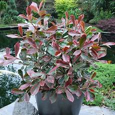 Pink Marble 174 Buntlaubige Glanzmispel Solit 228 R Pflanzen