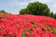 fiori azalee i fiori dell azalea giapponese immagine stock immagine