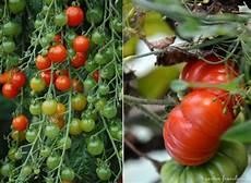 tomate ernte garten fr 228 ulein
