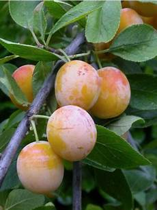 Mirabellier Mirabelle De Nancy Prunus Domestica Le
