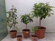 Avocado Pflanze Schneiden - zitruspflanzen w 228 hrend der wachstumsphase vegetation daheim