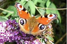papillon en allemand papillon diurne en 4 lettres similarclose
