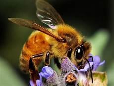 Mengenal Lebah Madu Lebih Dekat Jadipergi