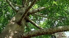 arbol emblematico de monagas 191 que significa el 193 rbol ceiba para la santer 205 a orichas en monagas