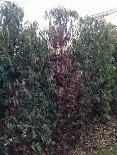 pflanze blätter rollen sich ein bl 228 tter vom kirschlorbeer rollen sich ein und werden braun