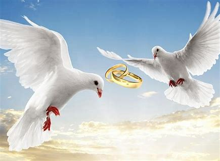 Bildergebnis für bilder von weißen tauben