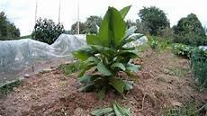 tabak im eigenen garten anbauen oder fehlern die