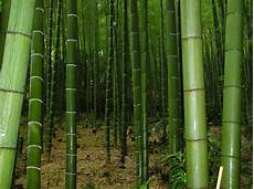 25 X Moso Bamboo Seeds Phyllostachys Pubescens Ebay