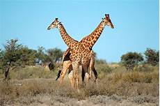 die giraffe frequently asked questions giraffe birth live animal