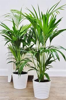 kentia palme tuff palmen pflanzen der palmenmann