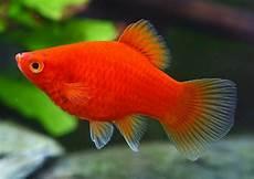 Peluang Usaha Budidaya Ikan Platy Dan Analisa Usahanya