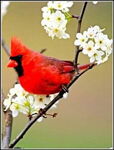 el cardenalito simbolo del estado lara el cardenalito de lara es una hermosa especie en grave peligro de extinci 243 n conoce su