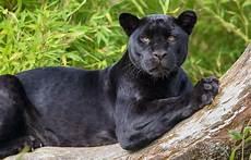 jaguar animal noir black panther jaguar wallpaper animals wallpaper better