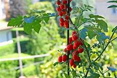 come seminare i pomodori in vaso come coltivare i pomodori donnad
