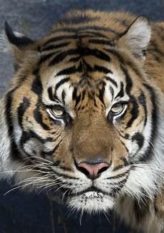 Harfan Harimau Sumatra Jantan Yang Dilahirkan Tahun 2008