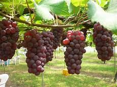Budidaya Tanaman Anggur Bengkel Teknologi Industri Pertanian