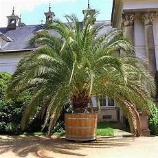 pot pour palmier exterieur canariensis palmier dattier des canaries tr 232 s