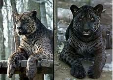Jaglion Adorkable Animals Jaguar And