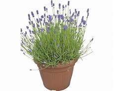 lavendel im topf kaufen lavendel hidcote floraself 30er topf kaufen bei hornbach ch
