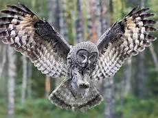 Gambar Burung Hantu Cantik Menawan Gambarbinatang