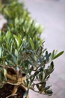 olivenbaum 252 berwintern anleitung und pflege fehler