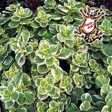 koleus hybridn 253 180 dich variegata 180 lumigreen sk najv 228 čš 237