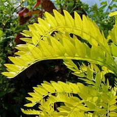 Lederh 252 Lsenbaum Sunburst Haus B 228 Ume Ziergeh 246 Lze Und