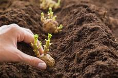 potatoes how to plant grow harvest potatoes food