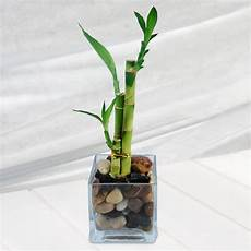 lucky bambou artificiel lucky bamboo happiness just because plants by occasion