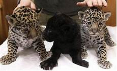 what is a jaguar called from your friends at r panthers go win that afccg jaguars