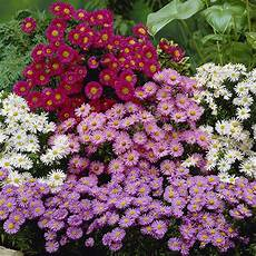 Hardy Aster Island Series Mixed