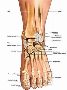 Anatomical Foot Diagram by Anatomy Of Foot Ankle Anatomy Of The Foot Ankle Total