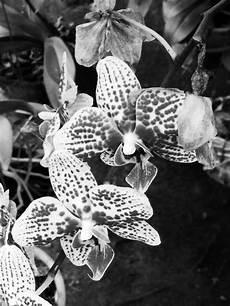 Terkeren 13 Bunga Anggrek Hitam Gambar Bunga Hd