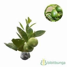 Tanaman Jeruk Lemon Lokal Bibitbunga