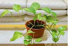 efeu zimmerpflanze pflege efeutute pflegen pflege tipps zum gie 223 en schneiden