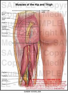 Muscles Of The Hip And Thigh Exhibit