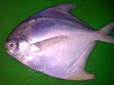 Gambar Ikan Bawal Hitam Dunia Binatang