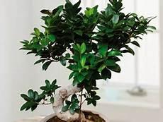 Ficus Ginseng Praxis Tuincentrum